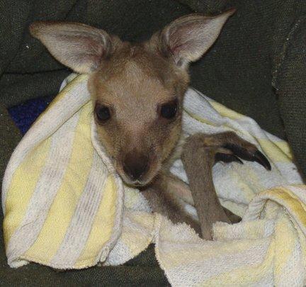 female Eastern Grey Kangaroo joey - I need a name!