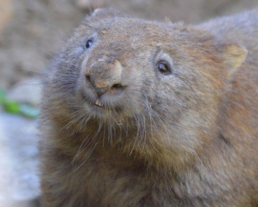 Rehabilitate Wallabies & Other Native Wildlife