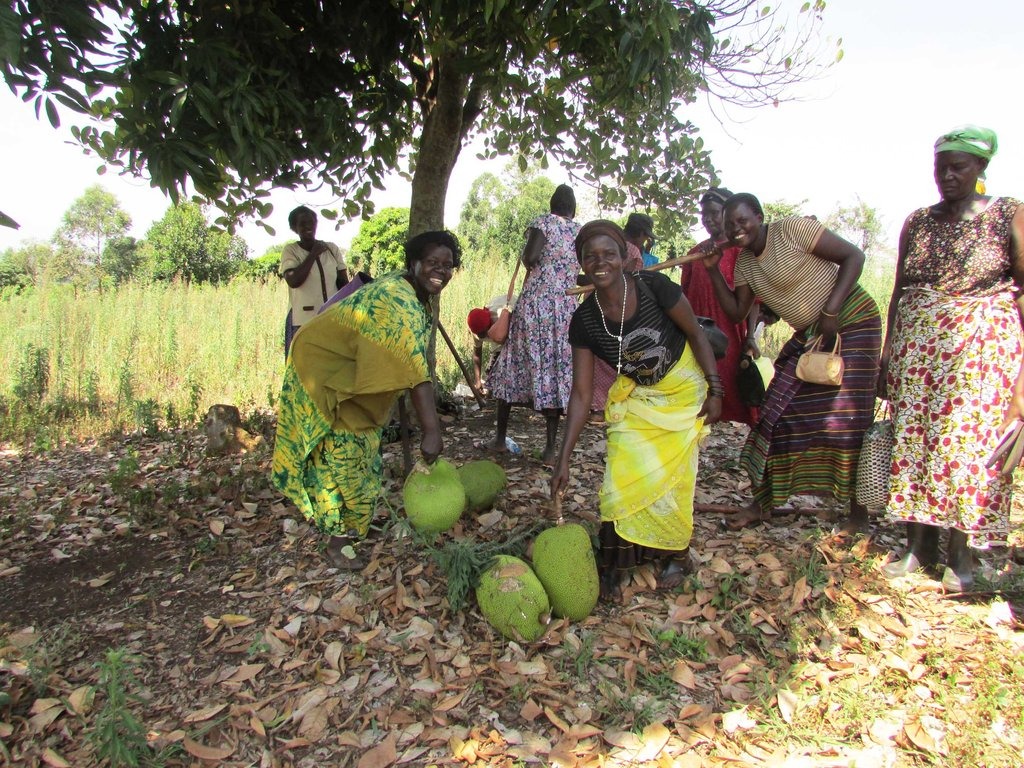 New Land - Gathering jack fruits from trees in Feb
