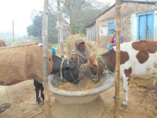 Sudama feeding dairy cows