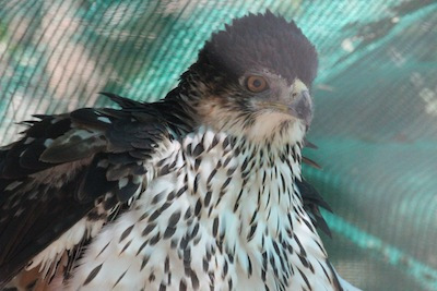 Scotty, the African Hawk Eagle