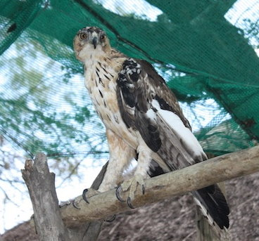 Provide food & care for our African Hawk Eagle