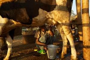 Tudabujja resident milks a cow