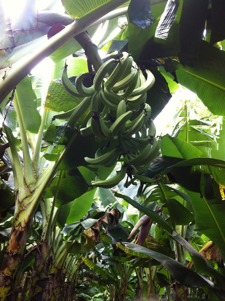 Farmers notice an larger improved plantain crop