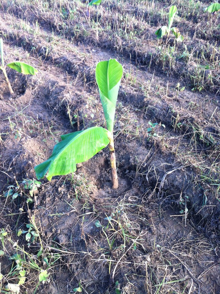 First time planting with the vitro plant plantain