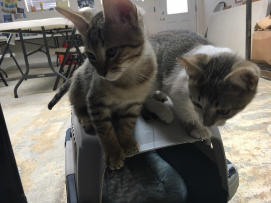 Two of our rescue kittens after adoption !