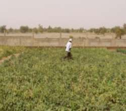 Women's garden in Gao, Mali 2013