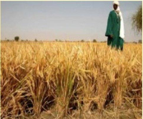 Gao rice farmer