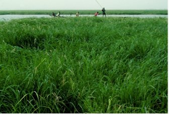 Gao river rice 2013
