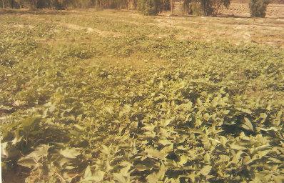 Sweet potato field
