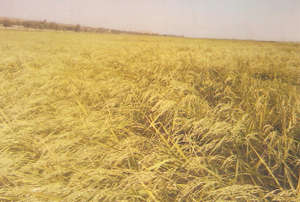 This rice field is ripe and ready for harvesting.