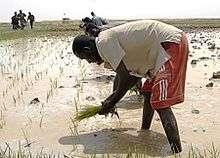 Rice farming in Northern Mali