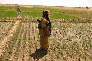 Mali dry rice farming in Northern Mali using SRI
