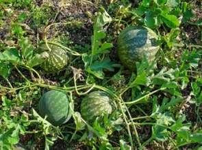West African melon