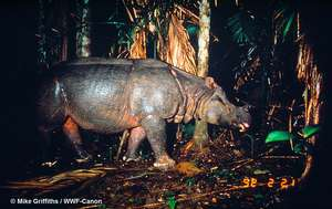 Javan rhino caught on camera