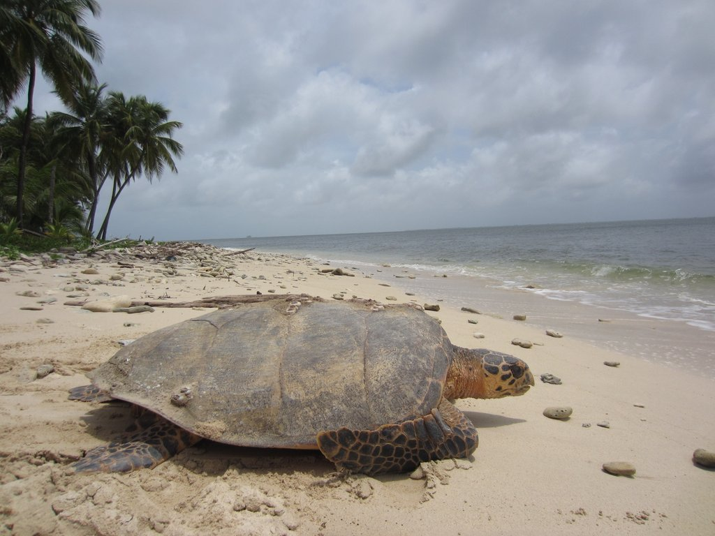Adult hawksbill sea turtle. Photo credit: WCS