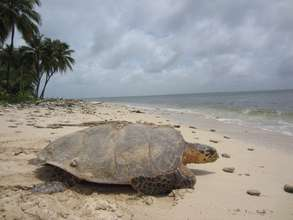 Adult hawksbill sea turtle. Photo credit: WCS