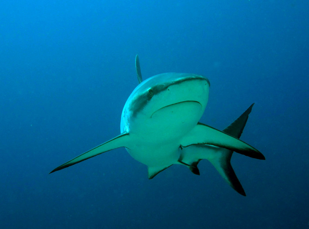 Grey reef shark. Photo credit: Stacy Jupiter/WCS