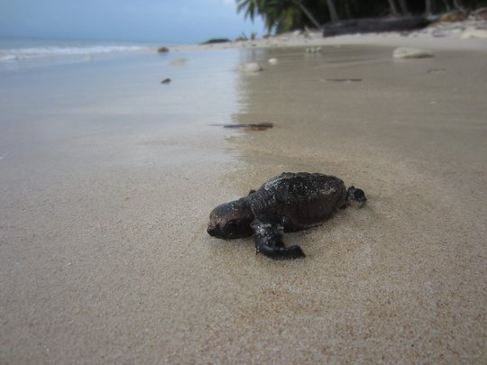 Hawksbill sea turtle hatchling. Photo credit: WCS
