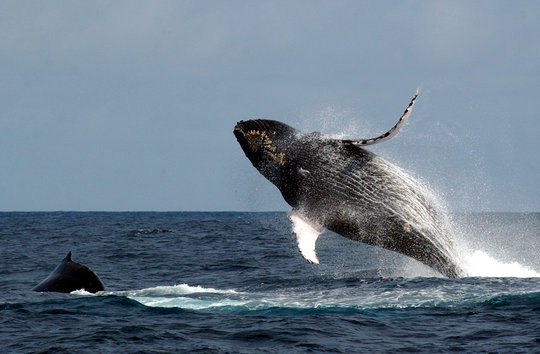 Humpback whales @ Tim Collins