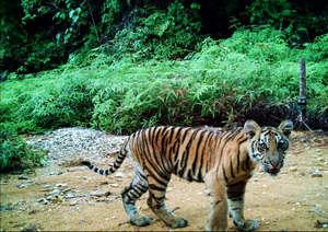 Camera trap image of Sumatran tiger cub
