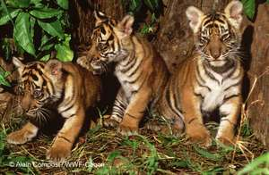 Three young cubs