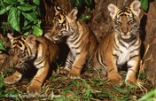 Zero Poaching of Tigers