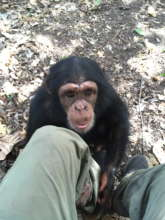 Orphan chimp Toto at 3 years of age