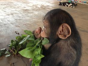Toto eats wild foods