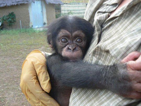 Care for orphan chimpanzee in Senegal