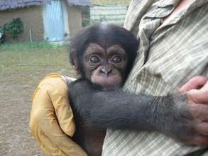 Care for Orphan Chimpanzee in Senegal