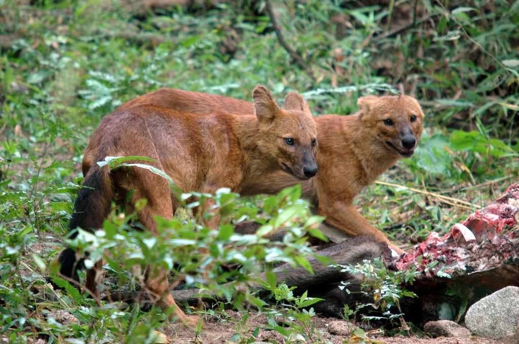 Dholes (Asiatic wild dogs)