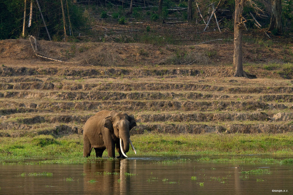Elephant on vacated lands