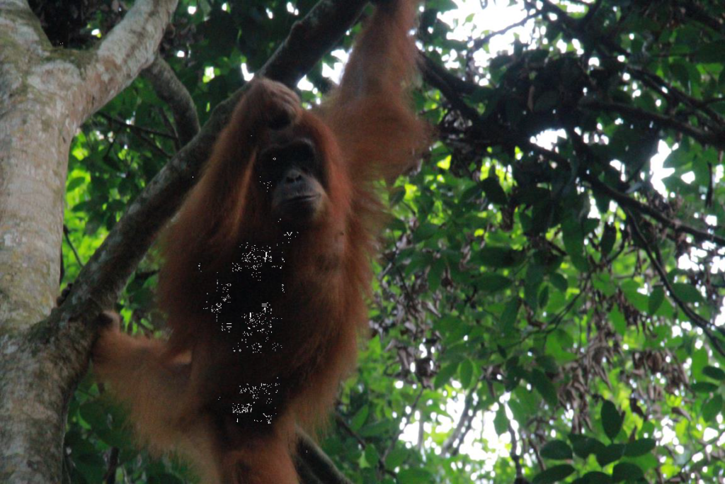 A young Sumatran orangutan female in Gunung Leuser