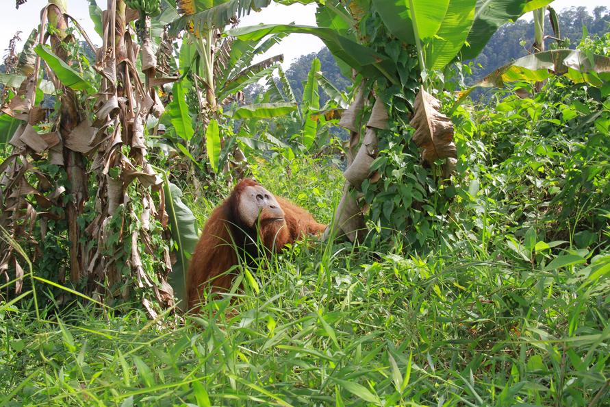 An adult male orangutan was trapped in  farmlands