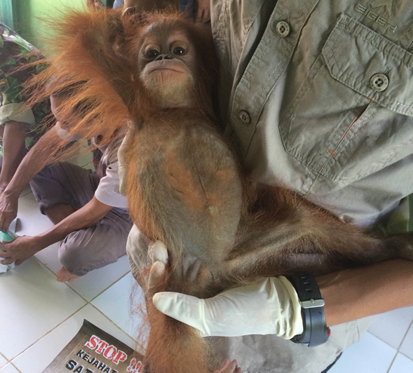 A baby orangutan confiscated from the pet trade