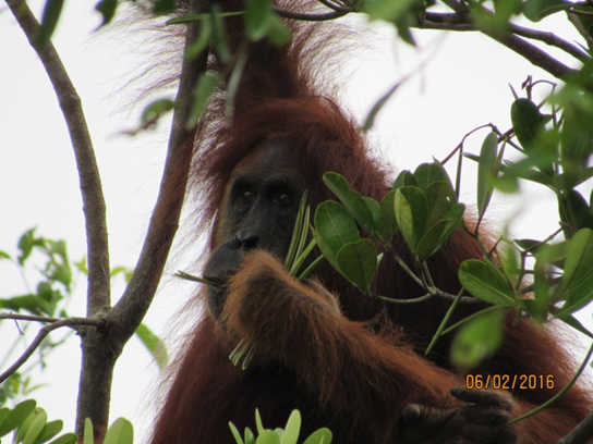 Female orangutan near a plantation