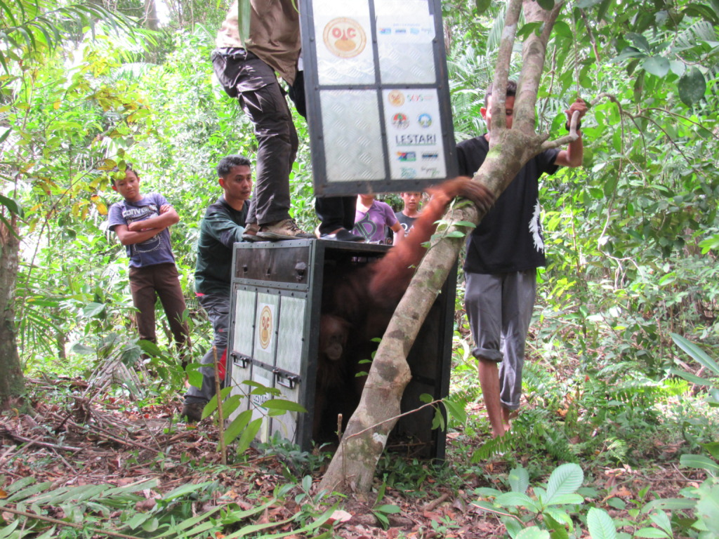 Released into the Gunung Leuser National Park