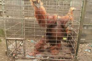 Krismon in the cage where he was kept for 20 years