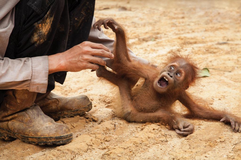Orangutan Rescue: On the frontline in Sumatra