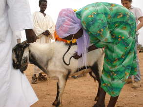 A paravet tending to a goat