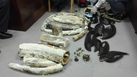 15 elephant tusks weighing 43 kg confiscated.