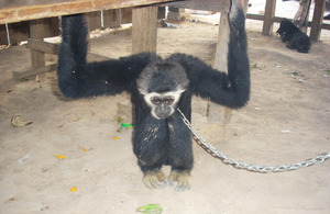 Endangered gibbon captured from the forest