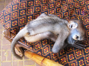 Baby black shanked douc langur kept as a pet