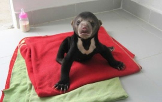 A Sun Bear Cub Rescued by the WRRT in September