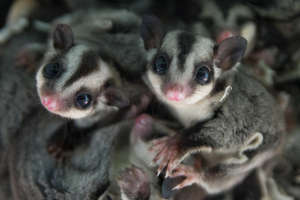 Rescued sugar gliders - photo by Peter Yuen