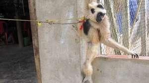 The gibbon was taken PTWRC for rehabilitation