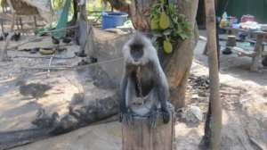 Endangered langur given a second chance at PTWRC