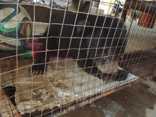 Sun bear cub being kept illegally as a pet
