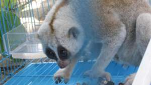 A slow loris kept as a pet is now healthy at PTWRC